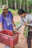 Mangostano una regina di frutta al mercato di frutta, azienda agricola Immagine Stock