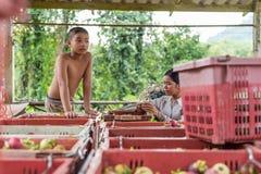 Mangostano una regina di frutta al mercato di frutta, azienda agricola Immagine Stock Libera da Diritti