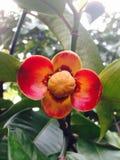 Mangostanu kwiat Fotografia Royalty Free