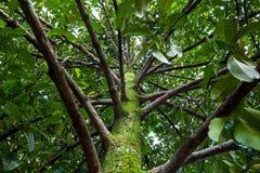 Mangosteen δέντρο Στοκ Φωτογραφίες