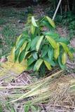 Mangosteen bush Stock Image