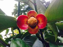 Mangosteen flower Stock Photos