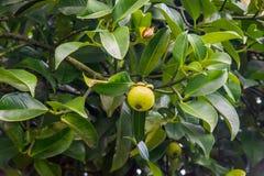 The mangosteen fruit is still weak, green. Royalty Free Stock Photo