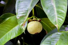 Mangosteen fruit on tree Royalty Free Stock Images