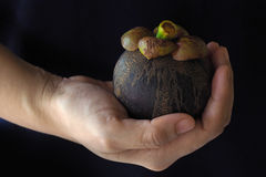 Mangosteen in the hand Royalty Free Stock Photo