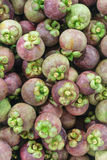 Mangosteen stage at garden stock photography