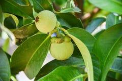Mangosteen tree stock photo
