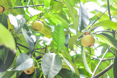 Mangosteen tree in the orchard Stock Photo