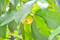 Mangosteen tree in the orchard Royalty Free Stock Image