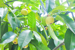 Mangosteen tree in the orchard stock photography