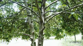 Mangosteen tree. A mangosteen tree in the park Royalty Free Stock Photos