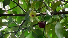 Mangosteen tree stock video footage