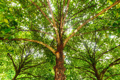 Mangosteen tree Stock Image