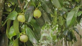 Mangosteenfrukthängning på trädet Arkivfoton