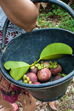 Mangosteens tropical fruits Stock Image