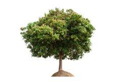 Mangoträd Arkivbilder