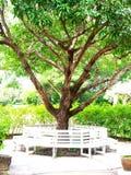 Mangoträd Arkivfoto
