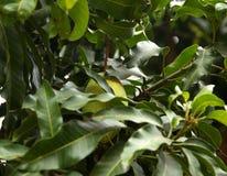 Mangoträd Fotografering för Bildbyråer