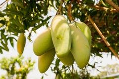 Mangoträd med mycket av frukter royaltyfria bilder