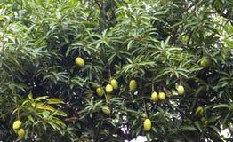 Mangoträd med omogna mango arkivbilder