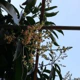 Mangoträd som blåser blommor royaltyfri fotografi