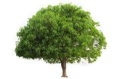 mangoträd som isoleras på vit bakgrund arkivbild