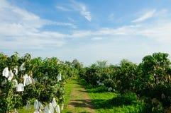 Mangoträdgård med blå himmel Royaltyfri Bild