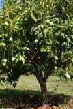 mangotree Arkivfoto