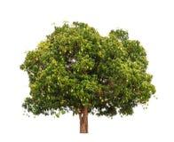 Mangotree (den indica mangiferaen) Arkivbild