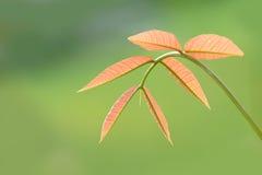 Mangourlaub, weiche Spitze des Baumisolats auf grünem Hintergrund Stockfoto