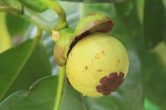 Mangoustan Photographie stock libre de droits
