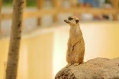 Mangouste en parc de faune de Pékin photographie stock