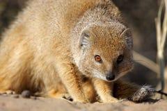 Mangouste jaune, désert de Kalahari Photos libres de droits
