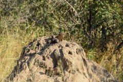 Mangouste naine sur une colline de fourmi images stock