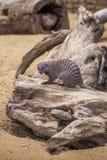 Mangouste réunie au zoo de Tbilisi, animal Image libre de droits