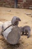 Mangouste réunie au zoo de Tbilisi, animal Photo libre de droits