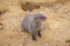 Mangouste réunie au zoo de Tbilisi, animal Photographie stock libre de droits