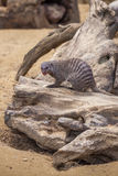 Mangouste réunie au zoo de Tbilisi, animal Photos stock