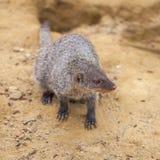 Mangouste réunie au zoo de Tbilisi, animal Image stock