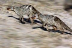 Mangouste réunie - Botswana Photos libres de droits