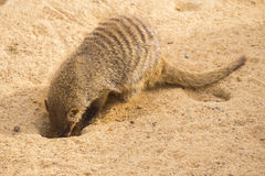 Mangouste réunie creusant dans le sable, mungo de mungos Photo stock