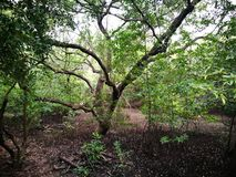 Mangove träd Arkivfoton