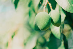 Mangowa owoc na drzewie Zdjęcia Royalty Free