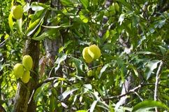 Mangowe owoc na drzewie Zdjęcia Royalty Free