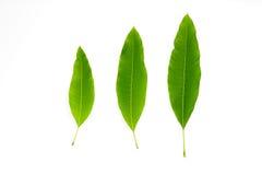 3 mangowego liścia odizolowywali białego tło Zdjęcie Royalty Free