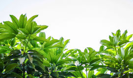 Mangowi liście Fotografia Stock
