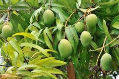 Mangowy drzewo Fotografia Stock