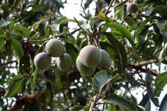 Mangowy drzewo fotografia royalty free