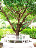 Mangowy drzewo Zdjęcie Stock