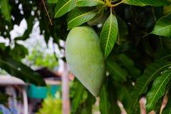 Mangowy drzewo Obrazy Royalty Free